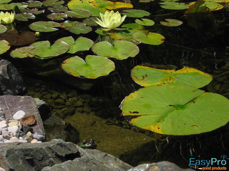 Peek-a-boo Bull Frog
